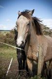 Kastanj- och svartirländarehästar Royaltyfria Foton