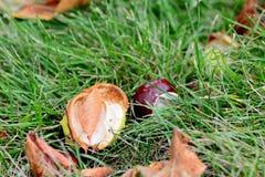 Kastanj på grönt gräs torra leaves för höst lätt höstbakgrund redigerar bildnaturen till vektorn Arkivfoto