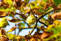Kastanj på trädet 1 arkivfoto