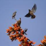 Kastanj-tailed stare i Bardia, Nepal arkivfoto