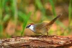 Kastanje-afgedekte Babbelkousvogel Royalty-vrije Stock Foto