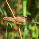 Kastanje-afgedekte Babbelkousvogel Royalty-vrije Stock Fotografie