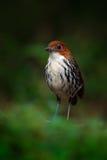 Kastanje-bekroonde antpitta, Grallaria-ruficapilla, zeldzame vogel van donker bos in Rio Blanco, Colombia Vogelobservatie in Zuid Stock Afbeelding