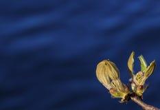 Kastanje bloeiende knop bij de vroege lente Natuurlijke blauwe achtergrond Zonnige dag Stock Foto's