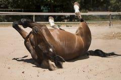Kastanje bruin paard die in zand rollen stock foto's