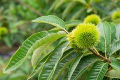 Kastanje (Castanea-vruchten) royalty-vrije stock afbeeldingen