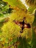Kastanje in de herfst stock fotografie