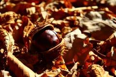 Kastanje in de de herfstbladeren royalty-vrije stock fotografie