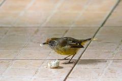 Kastanje-de steel verwijderde van Minla-vogel in geel het knagen aan brood in Chiangmai Stock Fotografie