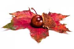 Kastanje en shell op rood blad die op wit wordt geïsoleerde Royalty-vrije Stock Afbeelding