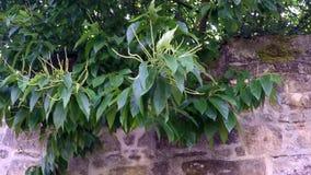Kastanje, fruitboom met bloesem stock footage
