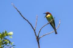 Kastanje-geleide bij-eter in het nationale park van Bundala, Sri Lanka stock afbeelding