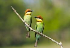 Kastanje-geleide bij-Eter, Vogel royalty-vrije stock afbeelding