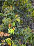 Kastanje geleide bijeneter stock foto