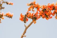 Kastanje Gesteunde Petronia Feeding op Bloemen royalty-vrije stock afbeeldingen