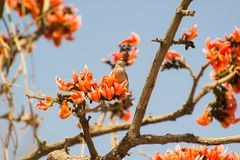 Kastanje Gesteunde Petronia Feeding op Bloemen stock fotografie