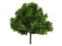 Kastanje (glabra Aesculus) Royalty-vrije Stock Afbeelding