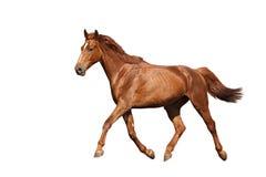 Kastanje het bruine paard lopen vrij op witte achtergrond Stock Afbeeldingen