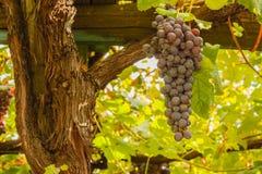 Kastanje houten polen met een bos van druiven Stock Foto's