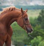 Kastanje mooi Arabisch paard Sluit omhoog stock afbeelding