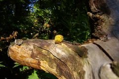Kastanje op een boom stock fotografie