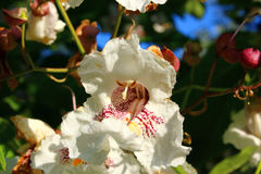 Kastanje tree2 Royalty-vrije Stock Fotografie