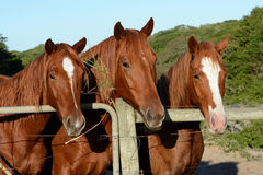 Kastanje warmblood paarden Stock Fotografie
