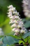 Kastanjebloemen en bladeren Royalty-vrije Stock Foto's