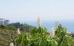 Kastanjebloemen tegen Gurzuf-meningen, de Krim Royalty-vrije Stock Afbeelding