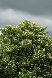 Kastanjeboom in bloesem Royalty-vrije Stock Afbeeldingen