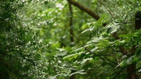 Kastanjeboom in de zomer en wind het blazen stock video