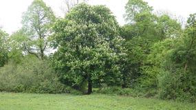 Kastanjeboom die in de Lente 1 bloeien royalty-vrije stock foto