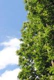Kastanjeboom het tot bloei komen Stock Afbeeldingen