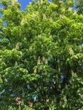 Kastanjeboom met bloemen stock foto