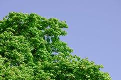 Kastanjeboom met groene bladeren en heldere, blauwe hemel Stock Afbeelding