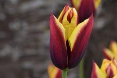 Kastanjebruin met Gele Vlam Tulip Macro Royalty-vrije Stock Afbeelding