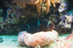 Kastanjebruine biaculeatus van Clownfish - Premnas- Stock Foto
