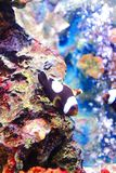 Kastanjebruine Clownfish Royalty-vrije Stock Afbeelding