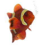 Kastanjebruine clownfish, biaculeatus Premnas Royalty-vrije Stock Fotografie