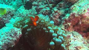 Kastanjebruine clownfish en anemoon op een ertsader stock video