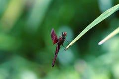 Kastanjebruine libellentoppositie op bloemstelen royalty-vrije stock afbeeldingen