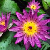 Kastanjebruine lotusbloem na de regen Royalty-vrije Stock Foto's