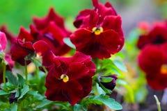 Kastanjebruine Pansy Flowers op Bloembed Royalty-vrije Stock Foto's