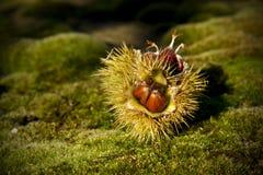 kastanjebrun älskvärd sötsak Royaltyfria Bilder