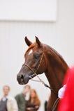 Kastanjebrun arabisk häst på showståenden Royaltyfri Fotografi