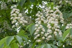 Kastanjebrun blommakastanj p? en gr?n bakgrund fotografering för bildbyråer