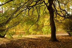 kastanjebrun fördelning för lövruskor under Arkivbild