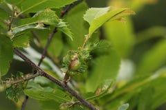 Kastanjebrun fräckhetgeting, gissel av kastanjebruna träd Royaltyfri Foto