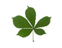kastanjebrun grön leaf Arkivbilder