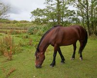 kastanjebrun häst royaltyfria bilder
